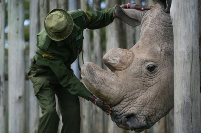 Murio Sudán, el último rinoceronte macho blanco del norte en Kenia. El último rinoceronte blanco del norte macho del mundo murió este lunes tras meses de enfermedad, dijeron sus cuidadores. Sudán, como se llamaba el ejemplar, tenía 45 años y vivía en la reserva Ol Pejet, en Kenia.