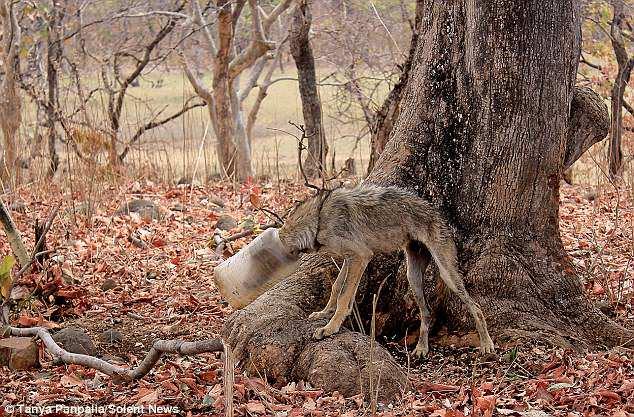 RESCATAN A UN LOBO A PUNTO DE MORIR CON LA CABEZA ATRAPADA EN UN RECIPIENTE DE PLÁSTICO. El animal atrapado, incapacitado para comer, se encontraba en grado extremo de debilidad