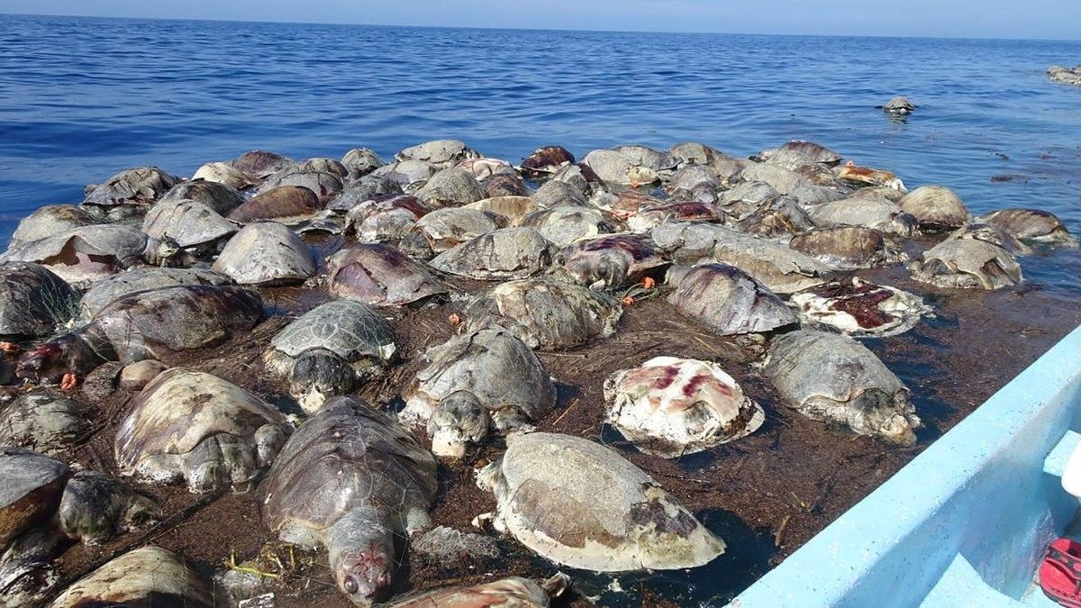 La trágica muerte de 300 ejemplares en vía de extinción en México. Tortugas en Oaxaca: la trágica muerte de 300 ejemplares en vía de extinción por culpa de una red ilegal en la costa de México